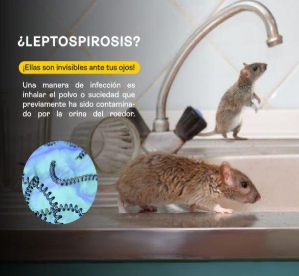 Leptospirosis, un peligro para la salud.