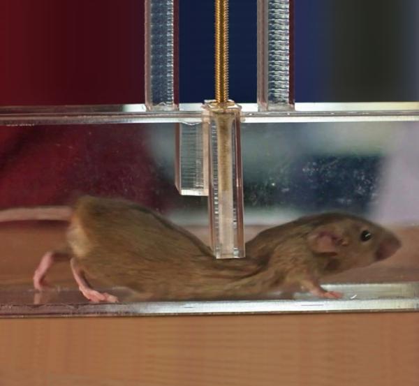 Video recomendado por BBC: ¿Cómo logran doblarse los ratones para pasar por espacios muy pequeños?